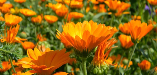 Цветки календулы при геморрое